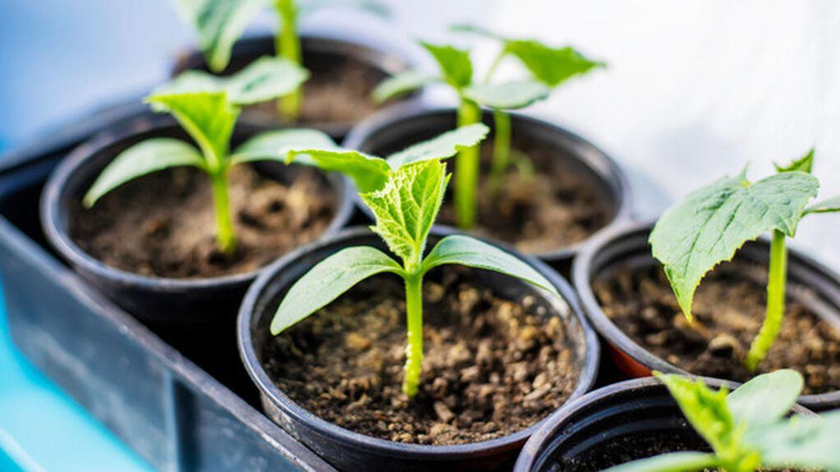 Las instrucciones básicas para plantar un esqueje en cinco pasos: los trucos para hacer crecer la planta con éxito.