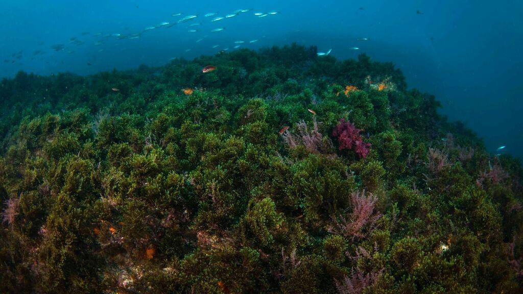 Viñedos para acabar con la invasión del alga asiática en las costas de Cádiz