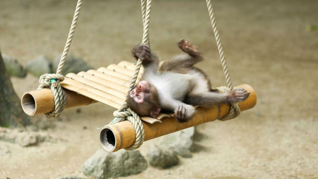 Yakei, la hembra de macaco que se ha convertido en la líder de su manda por primera vez