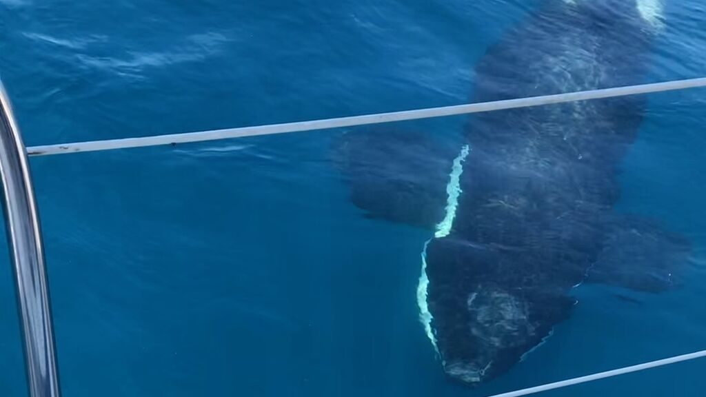 Un momento del ataque de las orcas al barco francés