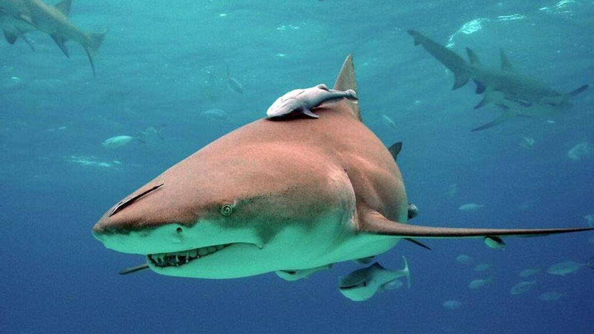Alerta en Florida: cientos de tiburones huyen de una marea roja tóxica