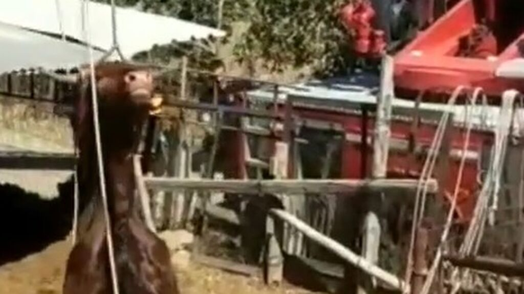 Vaca rescatada