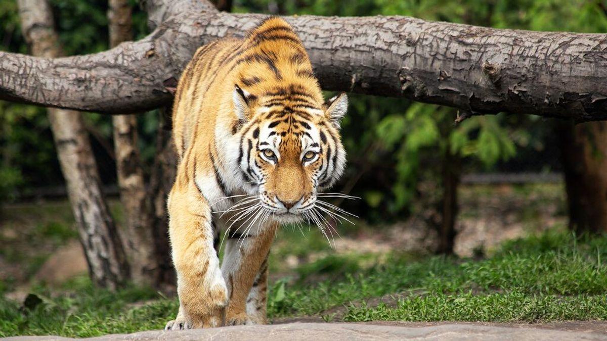 Muere una trabajadora de un zoo a manos de un Tigre: se lanzó directamente a su cuello