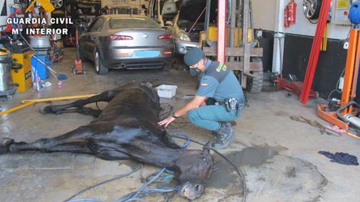 Eutanasian en Sevilla a un caballo maltratado: se refugiaba debajo de un coche para aguantar el calor