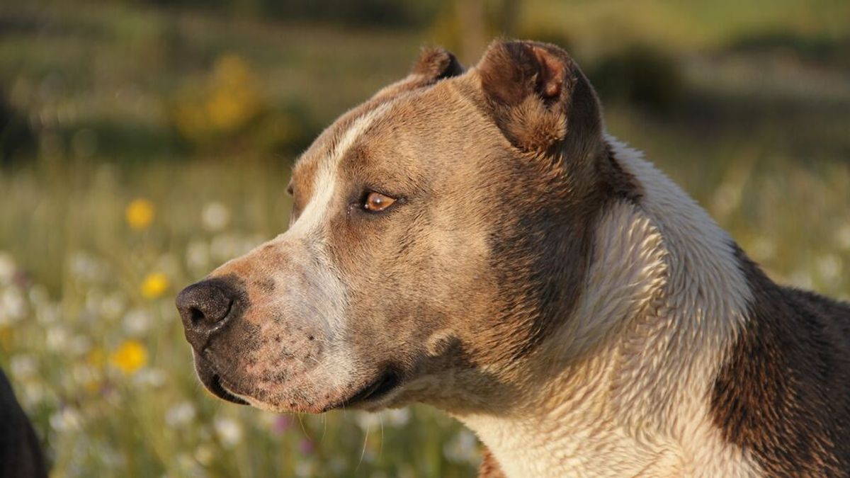 Muere una mujer mutilada por pitbulls después de intentar evitar una brutal pelea entre perros
