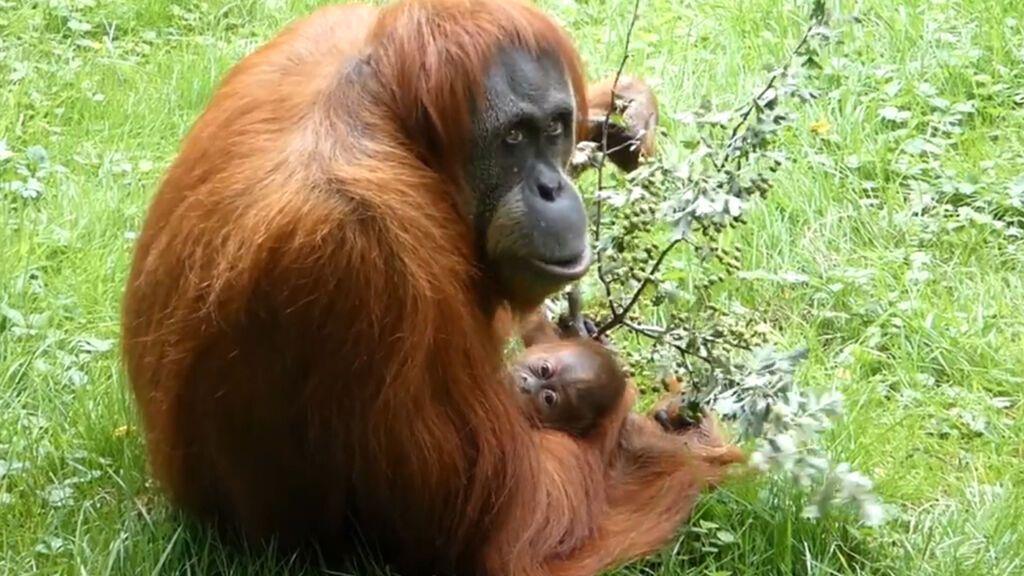 Ohiana, la pequeña orangutana cumple un mes