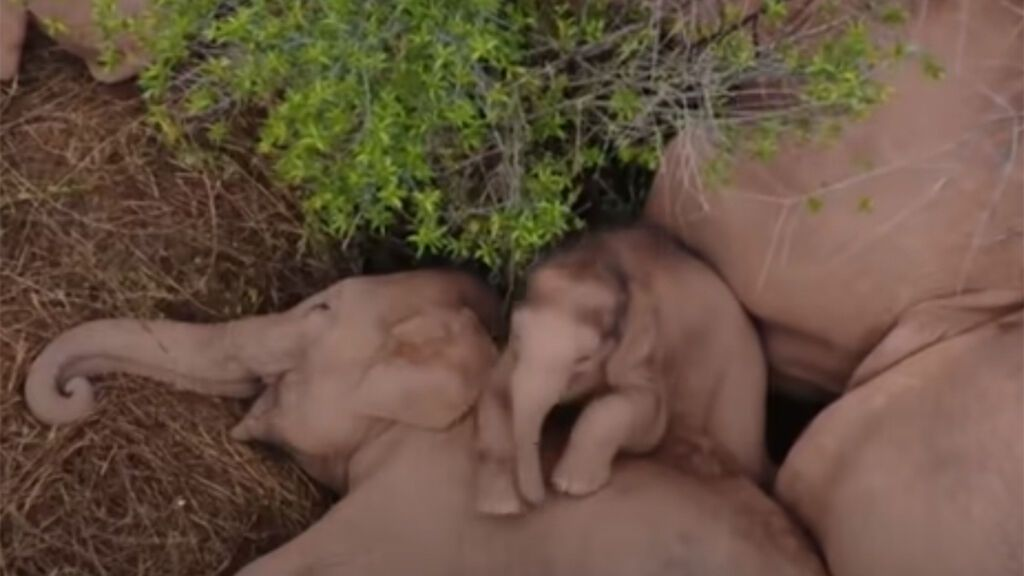 Los elefantes viajeros de China vuelven sanos y salvos a su reserva natural
