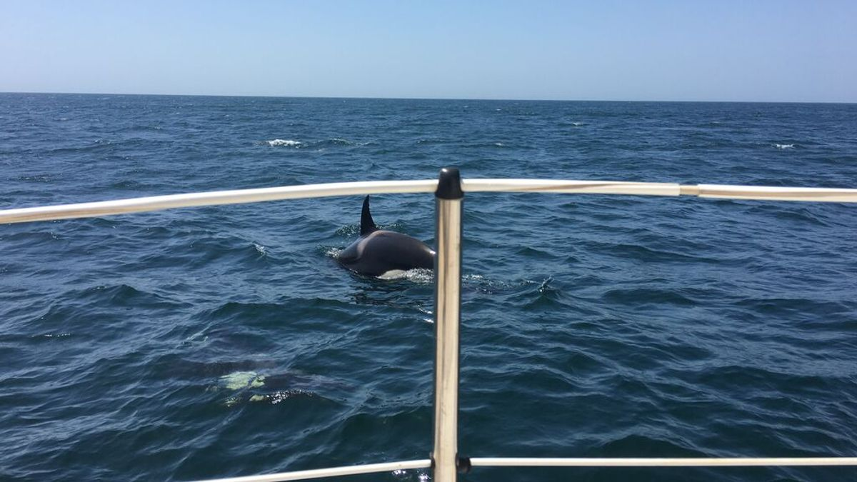 ¿Juegos o ataques?: dos veleros más dañados por orcas en el Estrecho