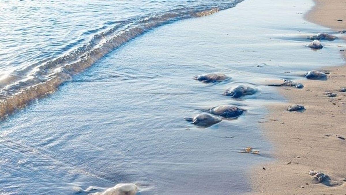 Banderas amarillas en las playas de Almuñécar por culpa de las medusas