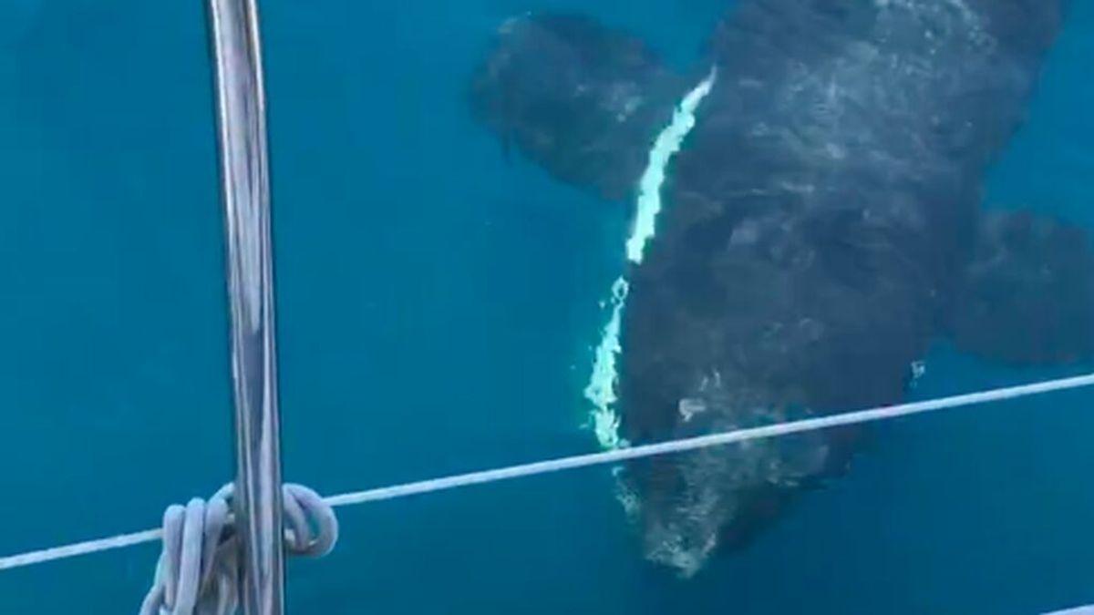 """""""No podemos tratarlo como ataques, son interacciones"""": lo que piensan los expertos de los encuentros con orcas en el Estrecho"""