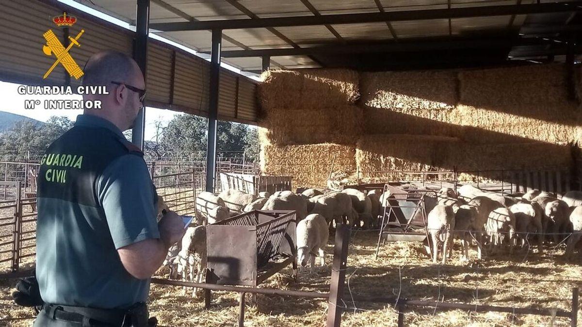 Sucesos.- Detenidos tres varones por un robo de 40 ovejas en trashumancia a su paso por la capital