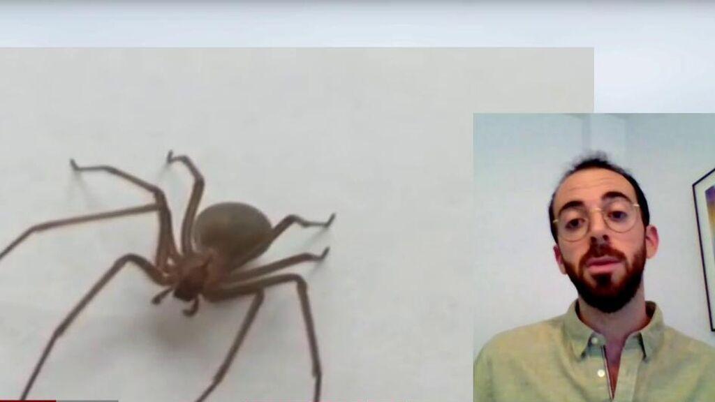 Araña rinconera