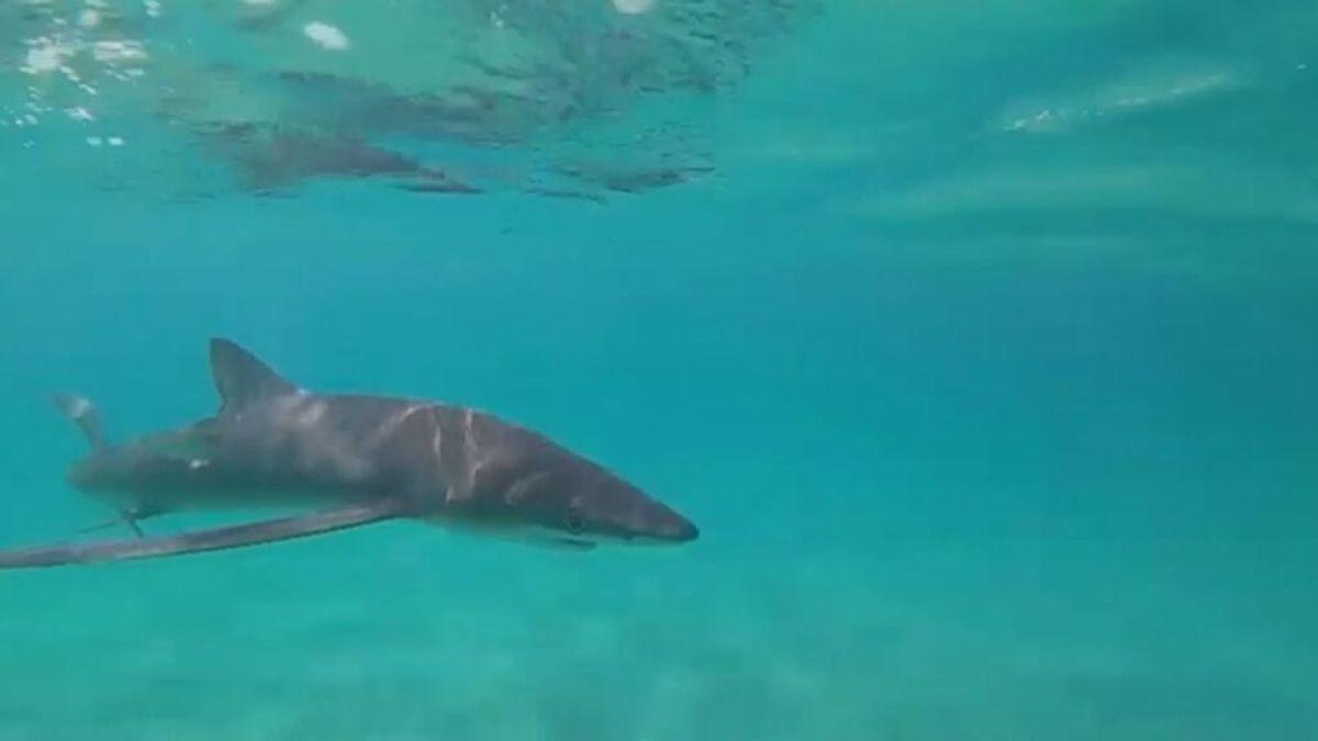 Aparece muerto el tiburón avistado en El Campello