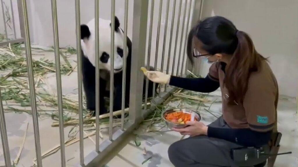 Nace en Singapur una cría de oso panda gigante