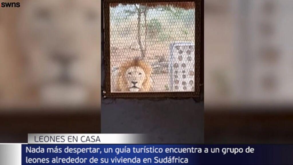 un guía turístico se encuentra un grupo de leones alrededor de su casa en Sudáfrica