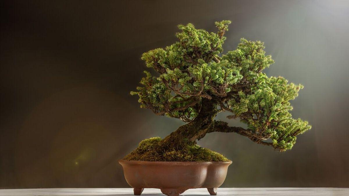Cada cuánto tiempo hay que regar un bonsái