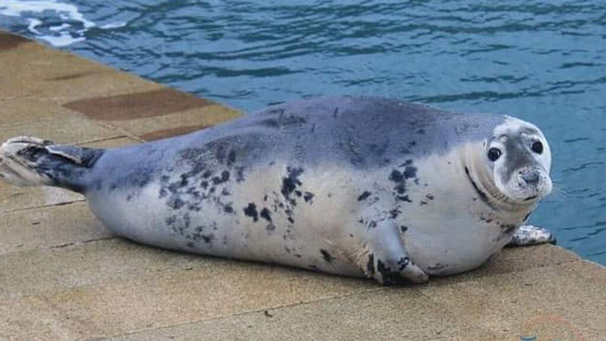 La foca Doqui vuelve a la ría de Vigo: las autoridades piden respeto para el animal