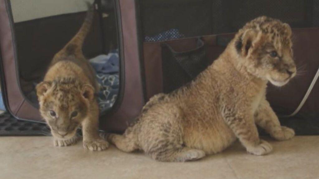 El zoo de México celebra el nacimiento de tres leones africanos