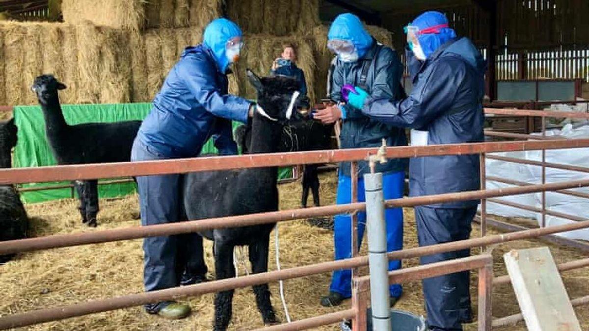 La alpaca Gerónimo ha sido sacrificada en Reino Unido y ha generado un debate nacional y legal