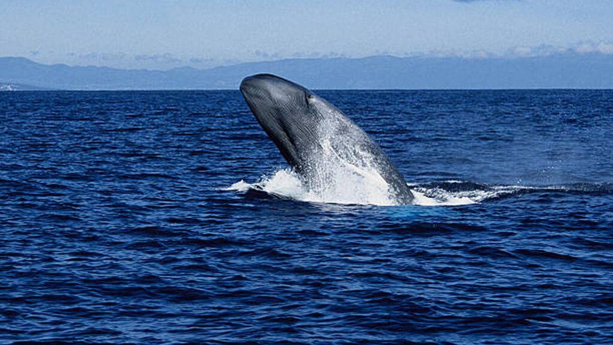 Las ballenas azules vuelven a la costa española tras 40 años de ausencia
