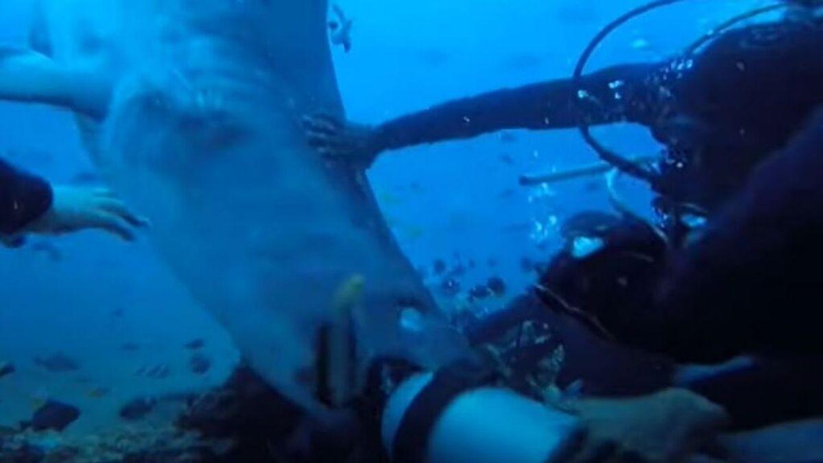 Un enorme tiburón tigre ataca a un grupo de buceadores y logra morderle la cabeza a uno de ellos