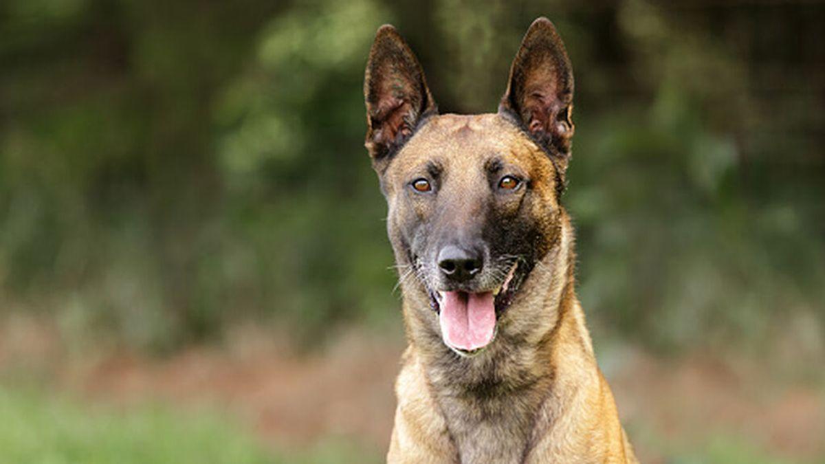 El perro que atacó mortalmente a un menor en Lucena es un pastor belga malinois, una raza desaconsejada para hogares con niños