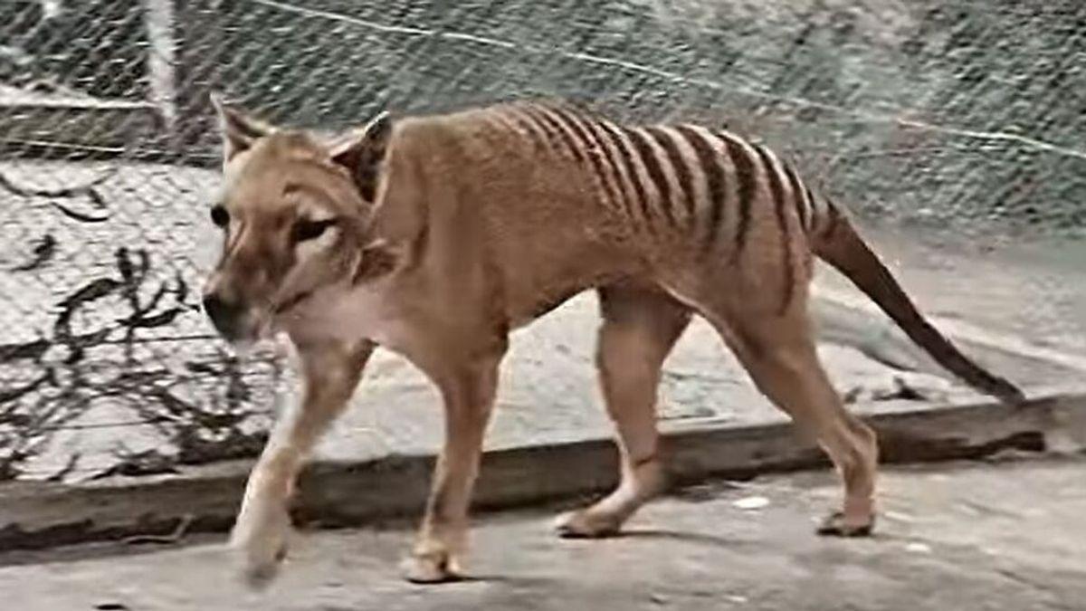 Logran dar color a las imágenes del último tigre de Tasmania, filmadas en 1933