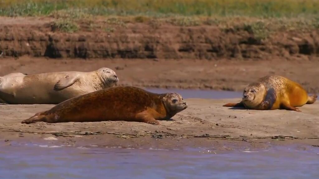 La población de focas en el estuario del Támesis se ha reducido drásticamente