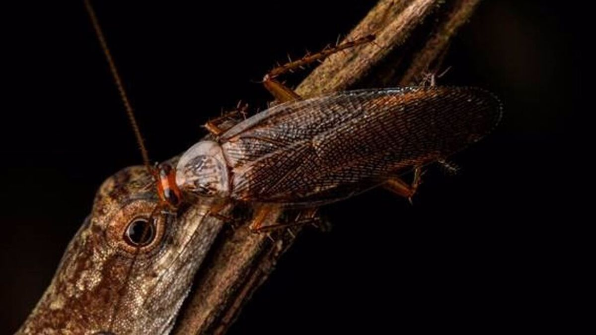 Descubren la primera cucaracha que se alimenta de lágrimas