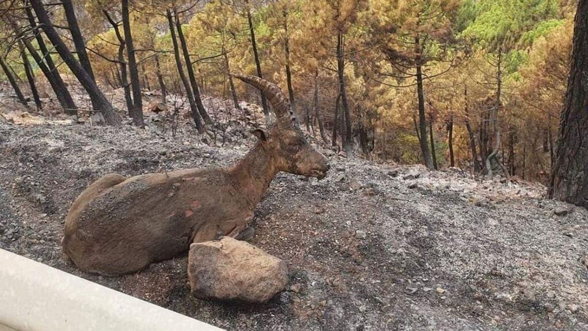 """La ayuda veterinaria también llega a Sierra Bermeja: """"Es una zona muy rica con especies autóctonas"""""""