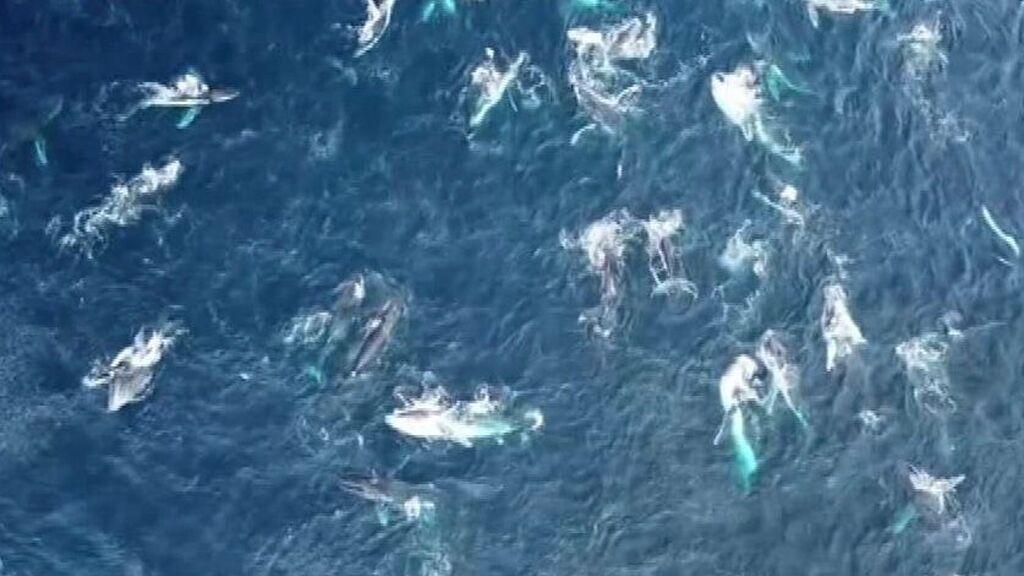 El espectáculo de un centenar de ballenas jorobadas a vista de dron en la costa australiana