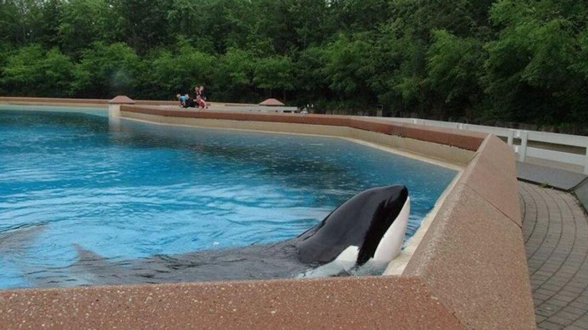 Graban a una orca golpeando su cabeza contra el cristal de su acuario tras perder a sus crías
