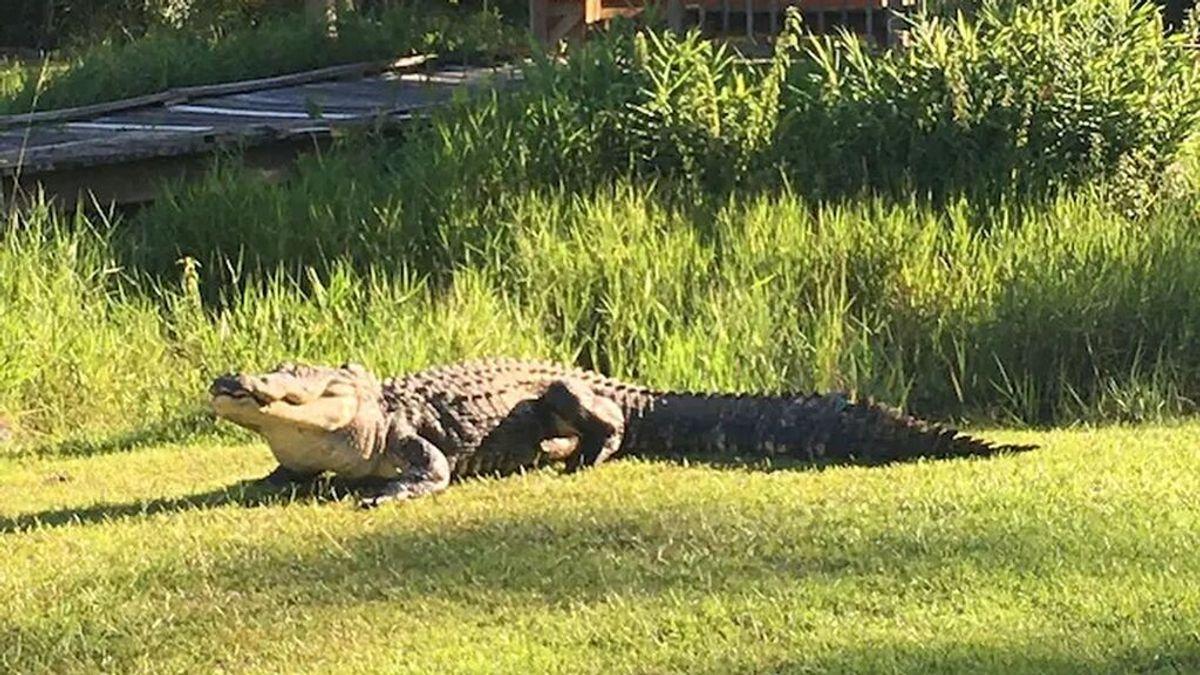 Muere Okefenokee Joe: la historia que hizo famoso al gigantesco caimán de Georgia