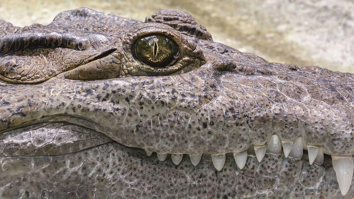 Hallan objetos de miles de años de antigüedad en el estómago de un enorme cocodrilo