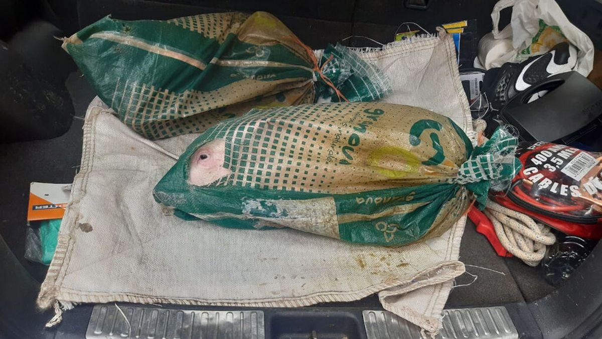 Denunciado en Lugo por llevar a dos lechones encerrados en sacos dentro del coche