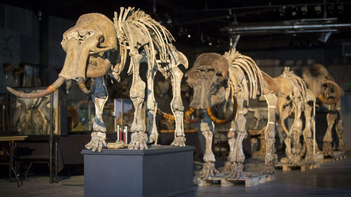 El argumento de los científicos que quieren devolver los mamuts a la Tierra en 6 años
