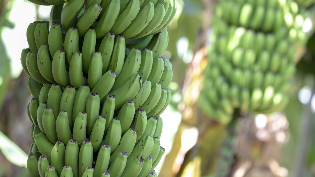 La erupción del volcán amenaza los cultivos de plátano en La Palma