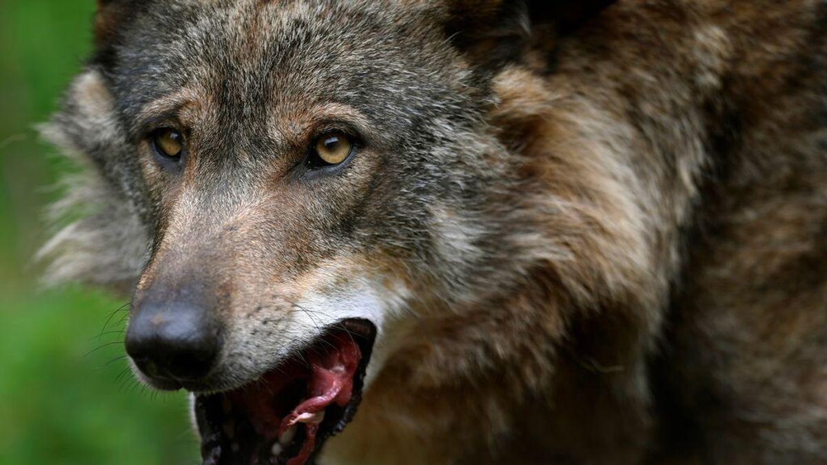 El Gobierno blinda al lobo que dejará de ser especie cinegética desde hoy