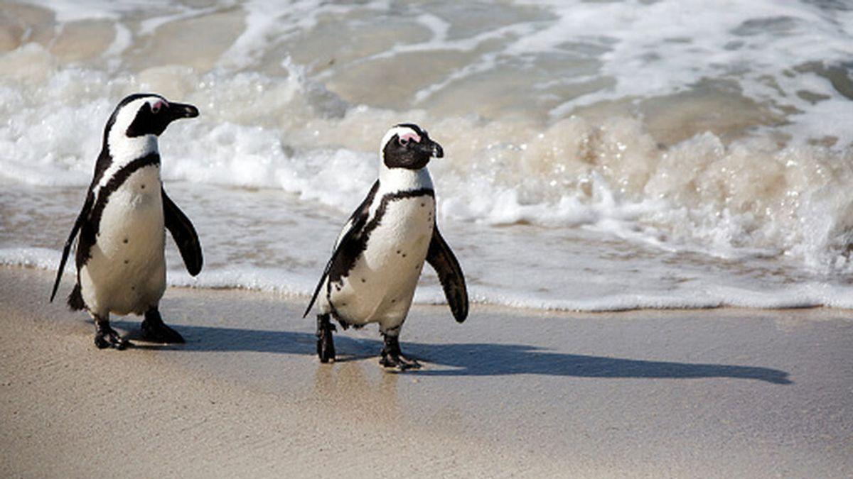 Decenas de pingüinos de una especie rara aparecen muertos en Sudáfrica