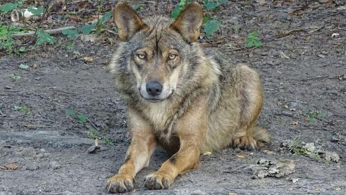 Prohibida la caza del lobo: qué otras especies protegidas hay en España