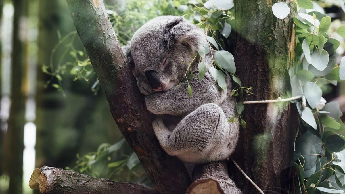 Malas noticias: Australia ha perdido casi un tercio de sus koalas en los últimos tres años