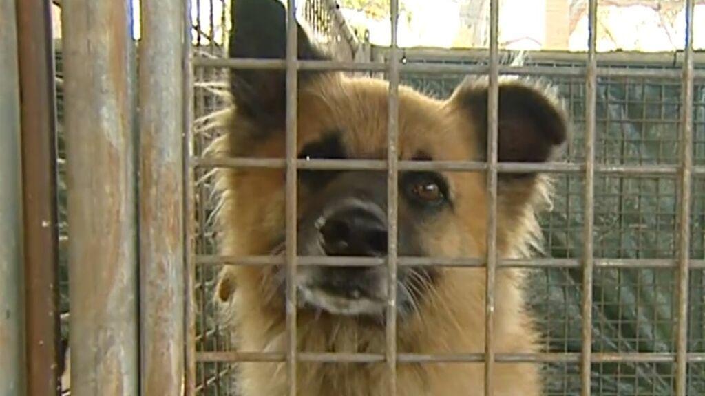 Los animales, los otros damnificados con la erupción del volcán: han tenido que ser evacuados de casas y granjas