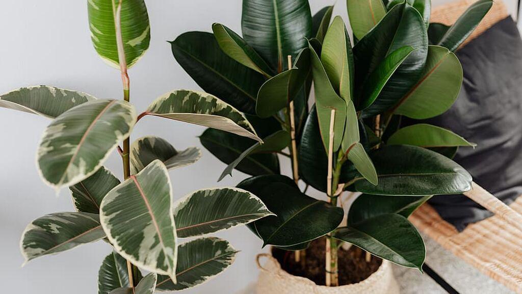 ficus-elastica-plant-houseplant-robusta-tineke