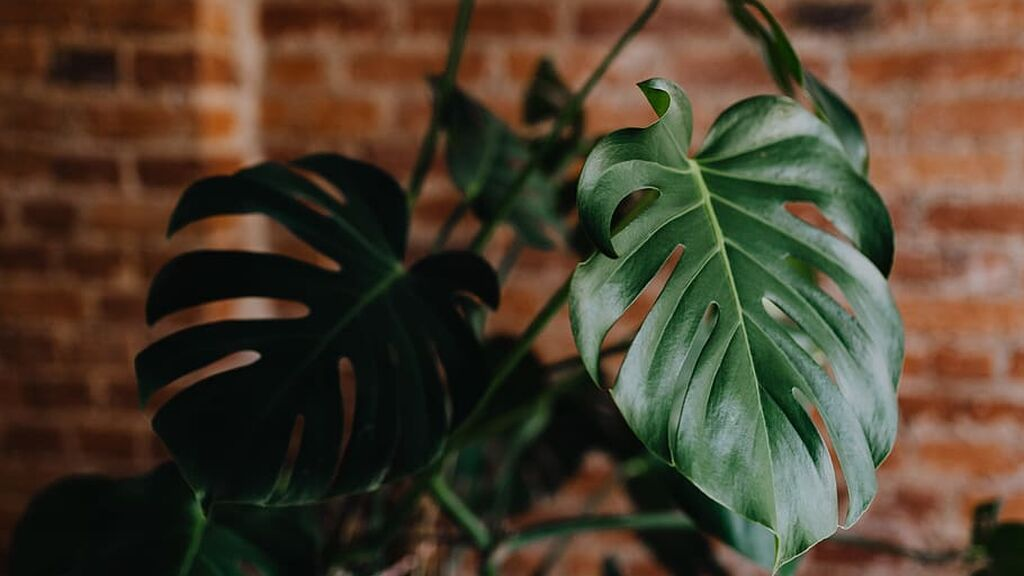 monstera-plant-green-home