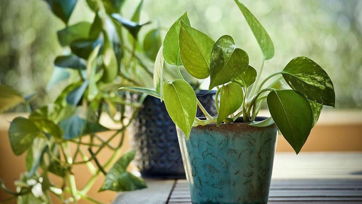 plants-pothos-epipremnum-aureum-ornamental-plants