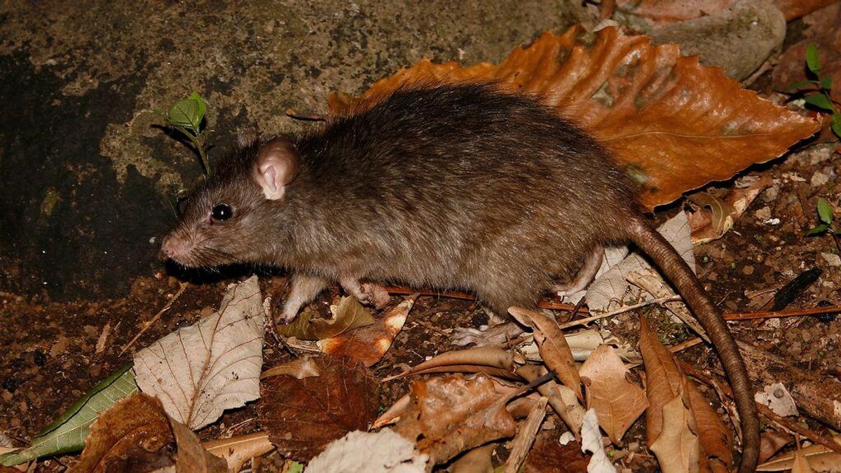 La rata negra, la 'otra amenaza' para La Palma: un estudio revela sus peligros para el ecosistema