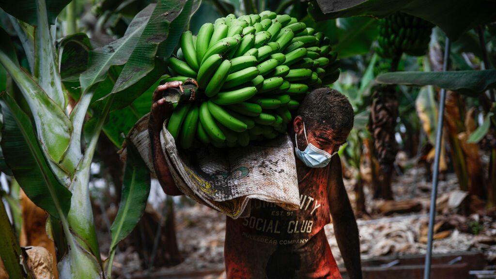 Yulian Lorenzo lleno de ceniza recoge una piña de plátanos