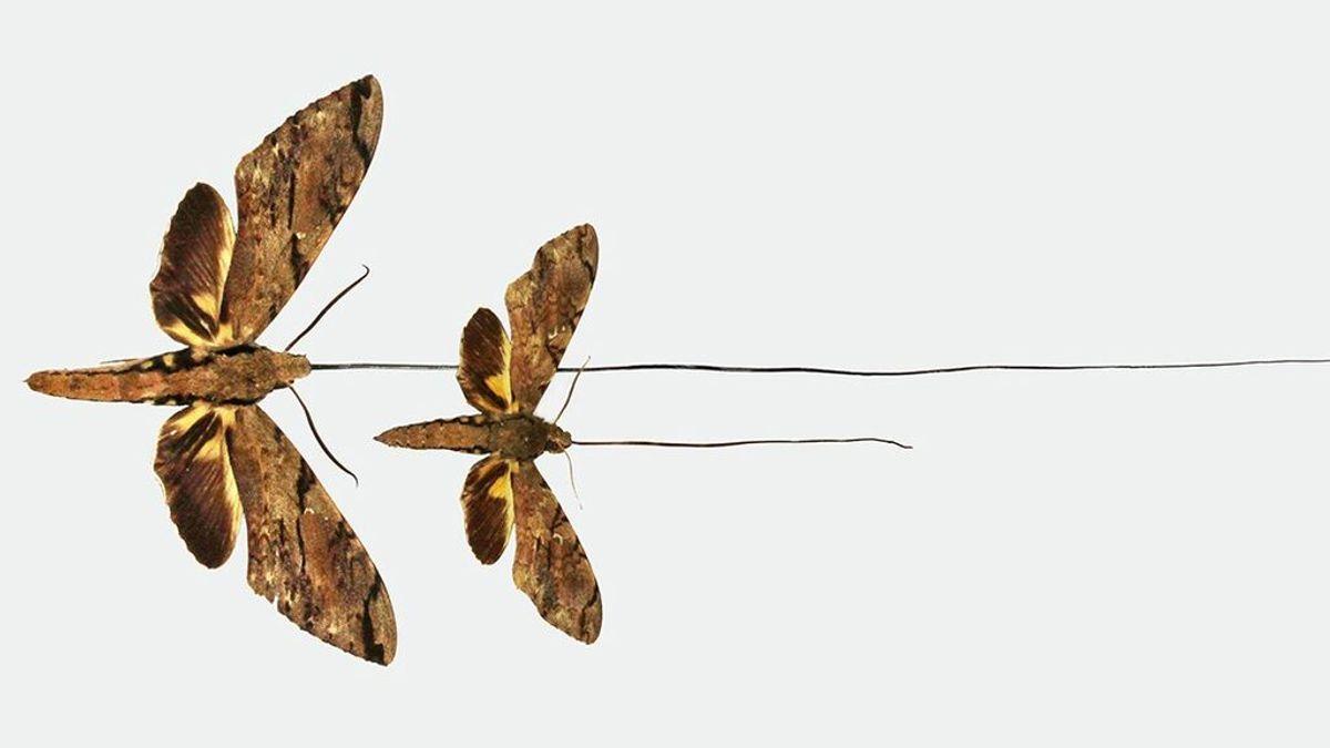 Una polilla predicha por Darwin en el siglo XIX es reconocida como nueva especie