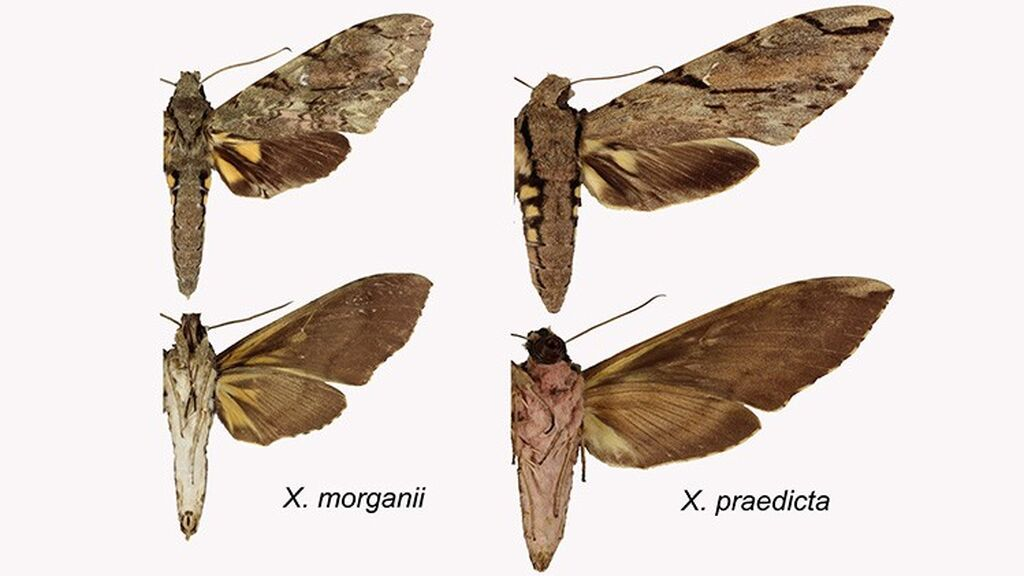 new-species-wallaces-moth-comparison-two-column.jpg.thumb.768.768