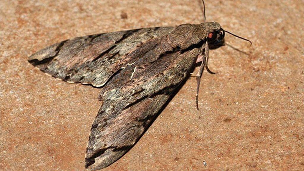 new-species-wallaces-moth-wild-two-column.jpg.thumb.768.768